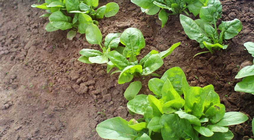 Spinach That Can Send Emails to Warn Us About Climate Change